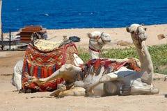 Kamelen bij zon Royalty-vrije Stock Afbeeldingen