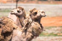Kamelen in binnenland Australië Stock Foto's