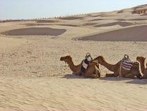 Kamelen in de Sahara Royalty-vrije Stock Foto's