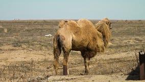 Kamelen in de woestijn stock video