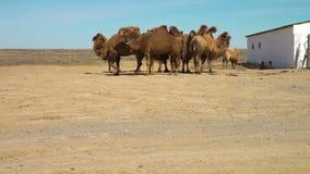 Kamelen in de woestijn stock footage