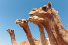 Kamelen in de woestijn stock foto