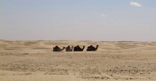 Kamelen in de woestijn Stock Afbeelding