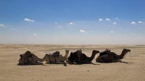 Kamelen in de woestijn Stock Foto's