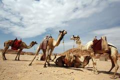 Kamelen in de woestijn Royalty-vrije Stock Foto's