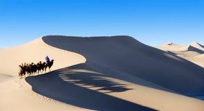 Kamelen in de woestijn Stock Afbeeldingen