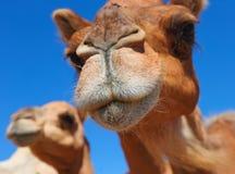 Kamelen in de woestijn stock fotografie