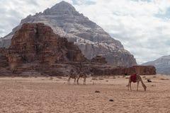 Kamelen in de woestijn royalty-vrije stock fotografie