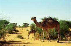Kamelen in de woestijn, Mauretanië Royalty-vrije Stock Afbeeldingen