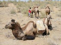 Kamelen in de woestijn, Oezbekistan Stock Afbeeldingen