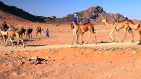 Kamelen in de Woestijn van de Sahara stock footage