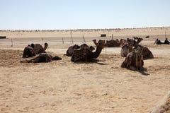 Kamelen in de Woestijn van de Sahara Stock Afbeelding