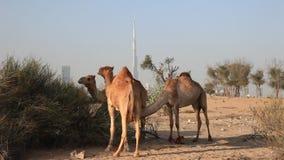 Kamelen in de woestijn van Doubai stock videobeelden