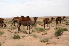 Kamelen in de Woestijn van Gobi Stock Fotografie