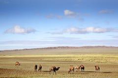 Kamelen in de Woestijn van Gobi Stock Afbeelding