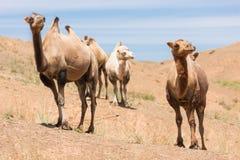 Kamelen in de Woestijn van Gobi Stock Foto's