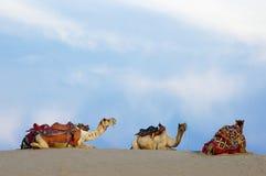Kamelen in de Woestijn van Thar, Jaisalmer, India Stock Foto