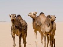 Kamelen in de woestijn worden bevonden die Stock Afbeelding