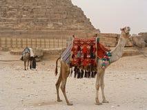 Kamelen dichtbij aan piramide Chefren Stock Foto's