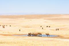 Kamelen dichtbij oase in zonovergoten woestijn stock afbeeldingen