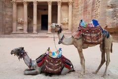 Kamelen die bij de Schatkist in Petra, Jordanië wachten Royalty-vrije Stock Foto's