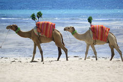 Kamelen die de kust van de oceaan lopen stock afbeelding