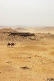 Kamelen die de woestijn in Giza kruisen. Stock Afbeelding