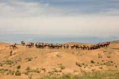 Kamelen die in de woestijn rusten De Woestijn van Gobi, Mongolië royalty-vrije stock foto's