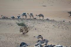 Kamelen die in het dessert rusten royalty-vrije stock fotografie