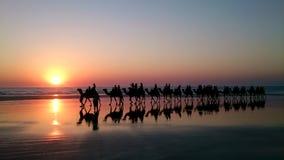 Kamelen die op Kabelstrand lopen stock afbeelding