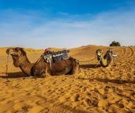 Kamelen die op zand van de duinen van Ergchebbi in Merzouga in de woestijn van de Sahara, Marokko, Noord-Afrika rusten royalty-vrije stock foto