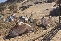 Kamelen die uit in Egypte koelen Stock Afbeeldingen