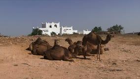 Kamelen die van Salalaoman de dichtbij bouwen stock footage