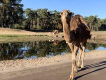 Kamelen door water royalty-vrije stock foto's