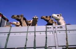 Kamelen in een vrachtwagen stock afbeeldingen