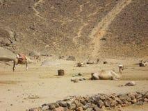 Kamelen in Egyptisch dorp Stock Foto's