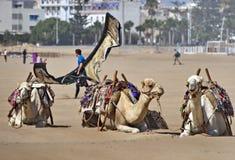 Kamelen en het kitesurfing in Essaouira Marokko Royalty-vrije Stock Afbeeldingen