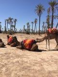 Kamelen en het zand van Marokko Stock Foto