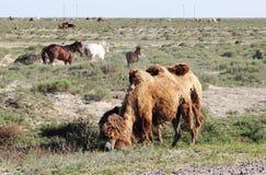 Kamelen en paarden in de steppen van Kazachstan stock afbeelding