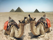 Kamelen en piramide in Egypte Stock Afbeeldingen