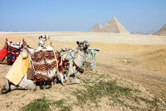 Kamelen en Piramides, Giza, Egypte stock afbeelding
