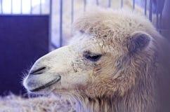 Kamelen in gevangenschap in een kooi worden gehouden die stock foto's