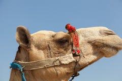 Kamelen in Giza piramide, Egypte Stock Foto