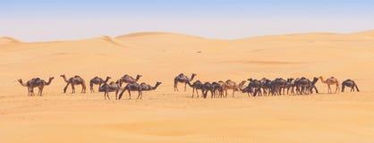 Kamelen in het Lege Kwart Royalty-vrije Stock Foto's