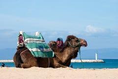 kamelen in het strand van Tanger, Marokko stock fotografie