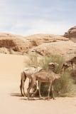 Kamelen Jordan Wadi Rum Desert Royalty-vrije Stock Afbeelding