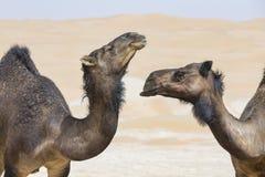 Kamelen in Liwa-woestijn Stock Afbeeldingen
