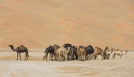 Kamelen in Liwa-woestijn Royalty-vrije Stock Foto
