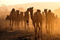 Kamelen in markt Pushkar Stock Afbeelding