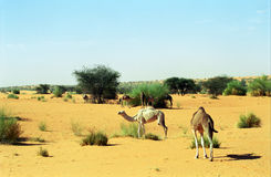 Kamelen, Mauretanië Royalty-vrije Stock Foto